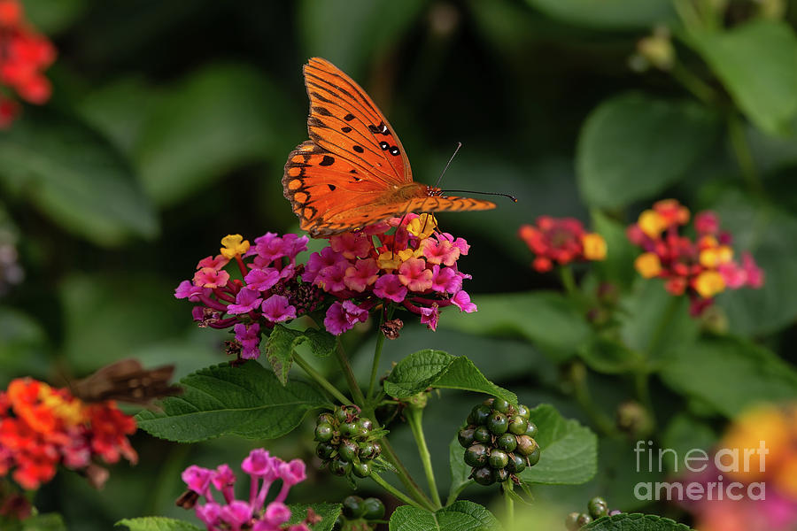 Nature Photograph - Butterfly On Lantana  by Rick Mann
