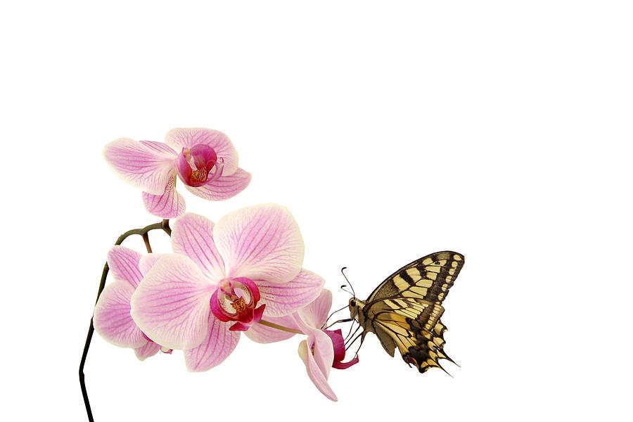 Butterfly On Pink Orchid Photograph by Photographerolympus