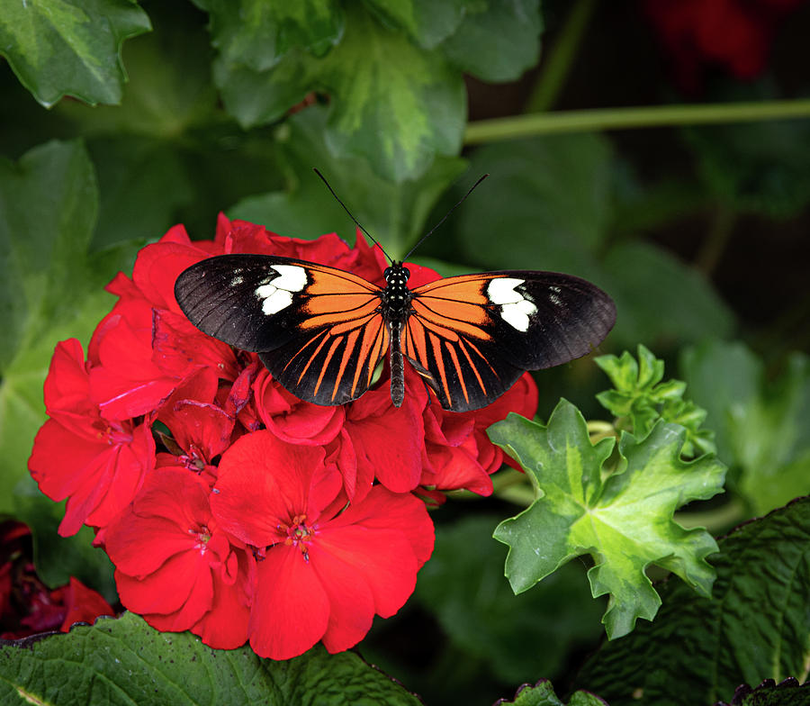 butterfly on red by Dean Ginther