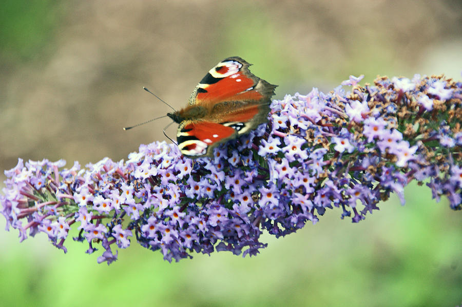 Butterfly on the Buddleia by Lachlan Main