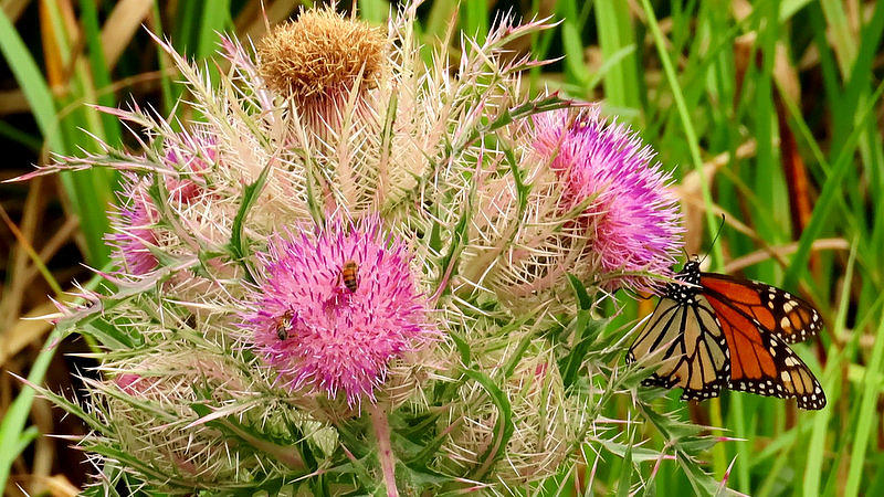 Butterfly on Thistle by Betty Berard