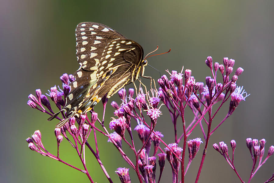 Butterfly on Wild Flowers by Bob Decker