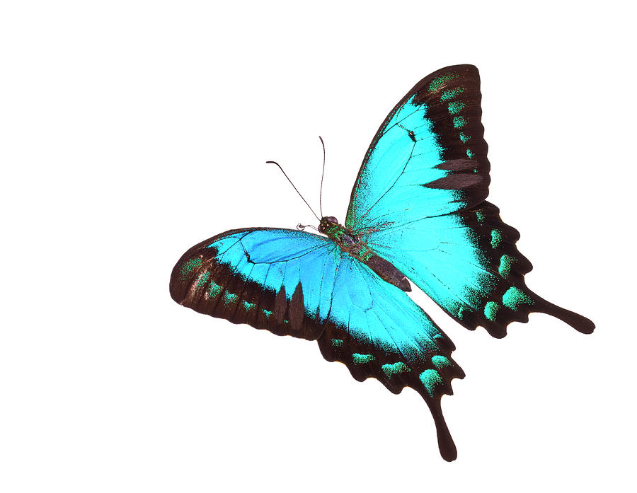 Butterfly Papilio Lorquinianus Albertisi Photograph by Liliboas
