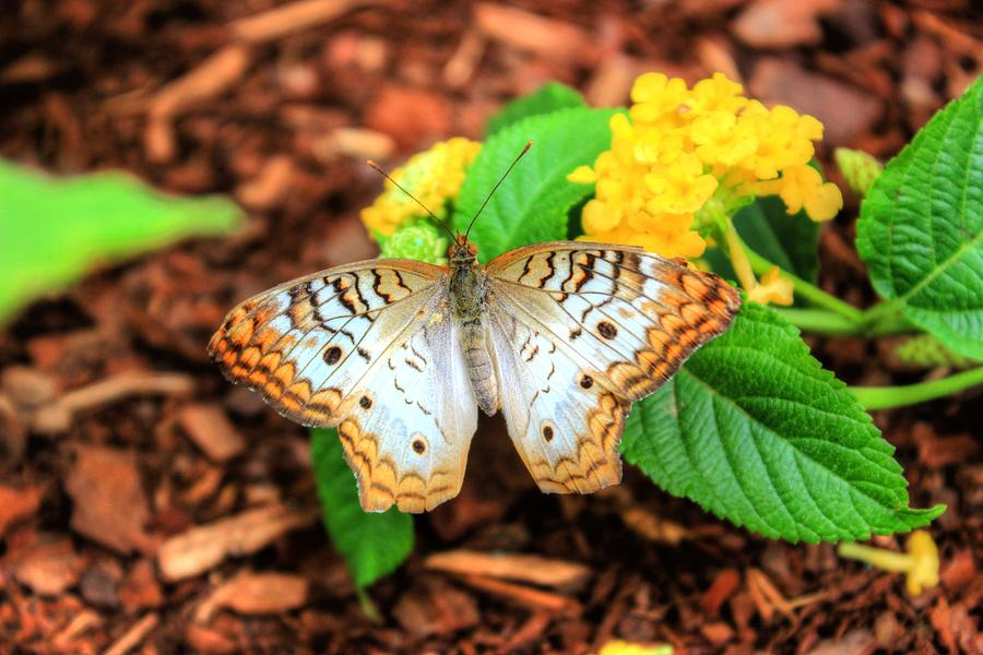 Butterfly Three by Brian Cole