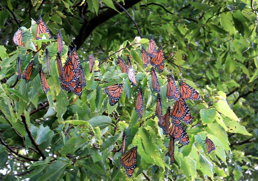 Butterfly Tree by Carolyn Fletcher