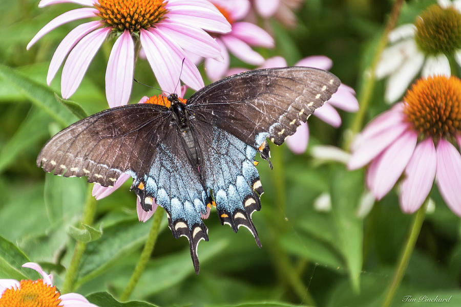 Butterfly with gray, blue and white with spotsof yellow. by Timothy Pinckard