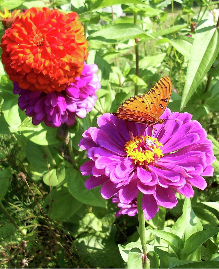 Butterfly Zinnia by Belinda Landtroop