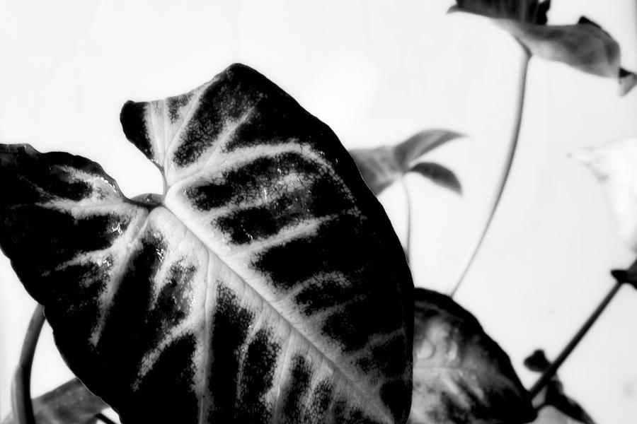 Bw Leaves #006 Photograph