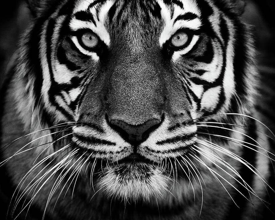 900a31a8a Bw Tiger Portrait Photograph by Fred Hood