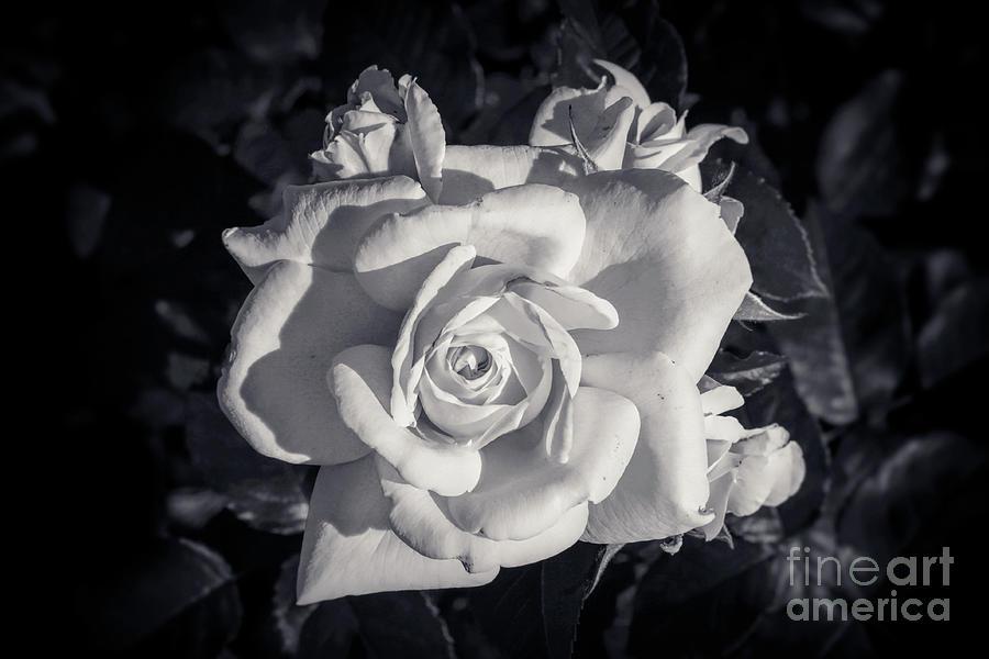 White Photograph - BW - White Rose by Stefano Senise