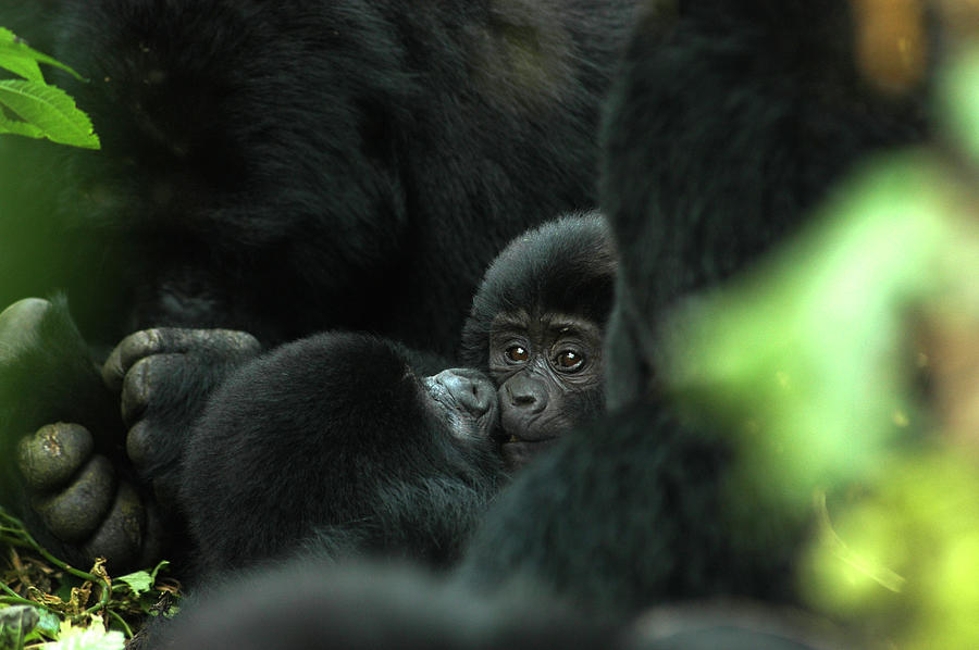 Bwindi Impenetrable Forest, Gorilla And Photograph by Aldo Pavan