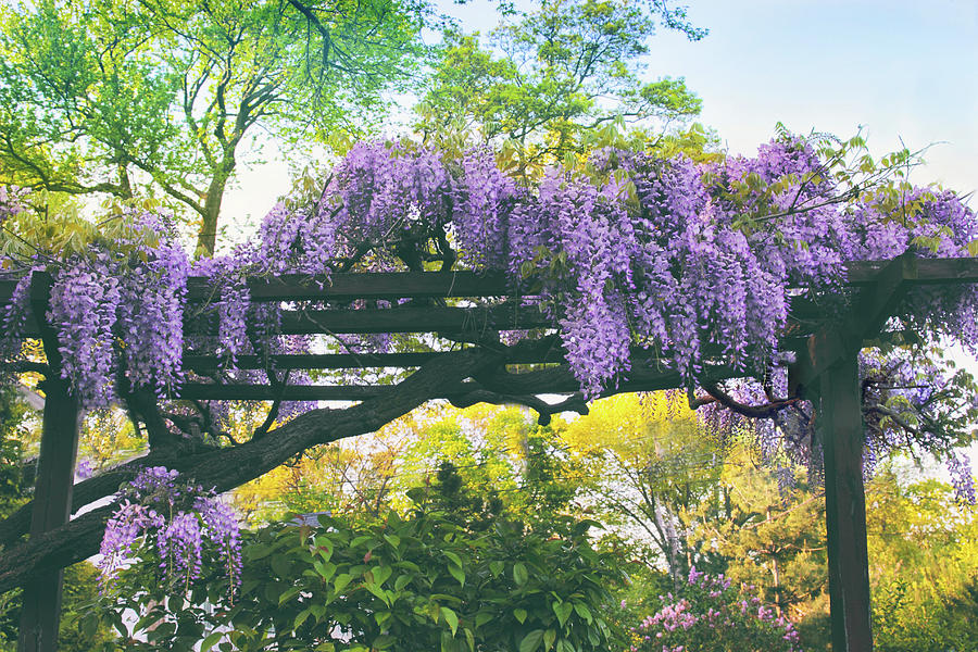 Wisteria Photograph - A Whiff Of Wisteria   by Jessica Jenney