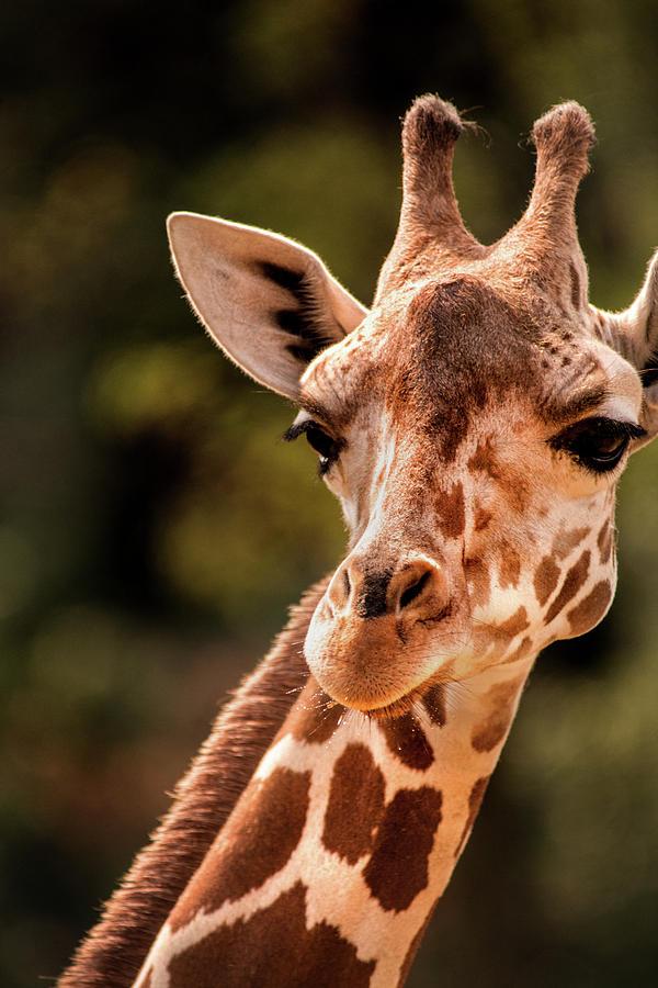 BZ Giraffe by Don Johnson