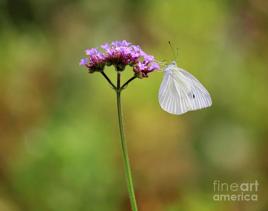 Cabbage White Butterfly Photograph - Cabage White Butterfly In Golden Meadow by Karen Adams