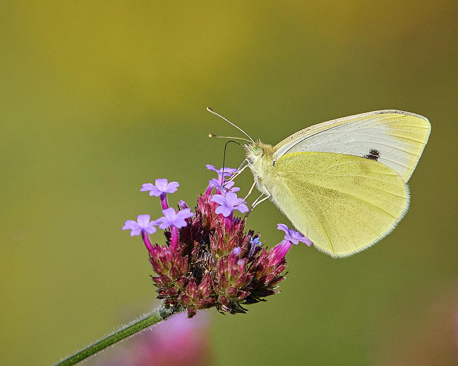 Cabbage White Butterfly by Steve Kaye