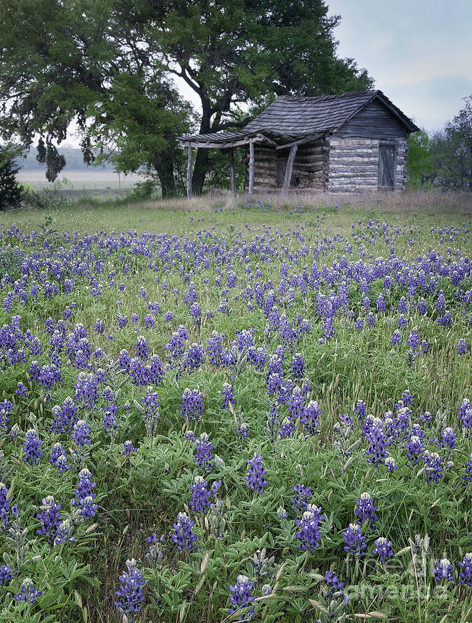Cabin and Bluebonnets by Patti Schulze