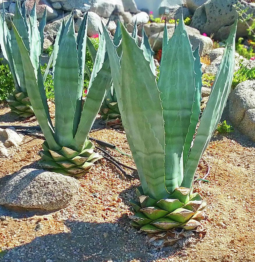 Cabo San Lucas Cactus Photograph