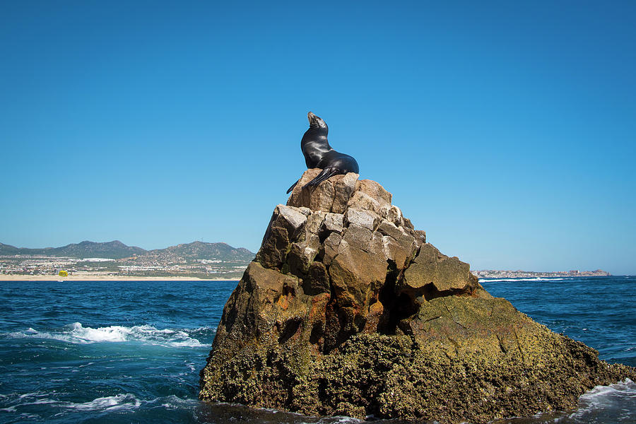 Cabo Seal by Bill Cubitt