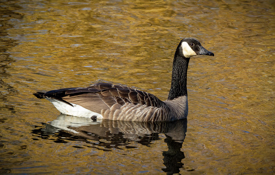 Cackling Goose  by Jean Noren