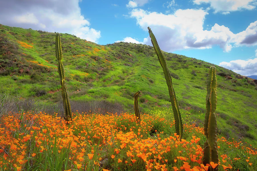 Cacti and Poppies by Alison Frank