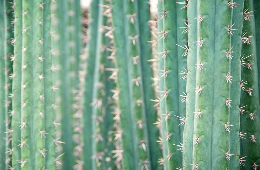 Cacti Echinopsis Pachanoi Photograph by Liz Whitaker