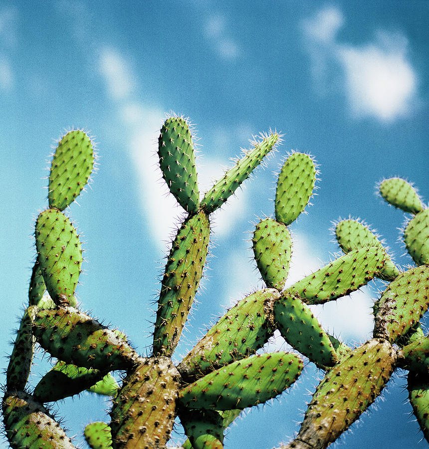 Cactus Against Blue Sky Photograph by Johner Images
