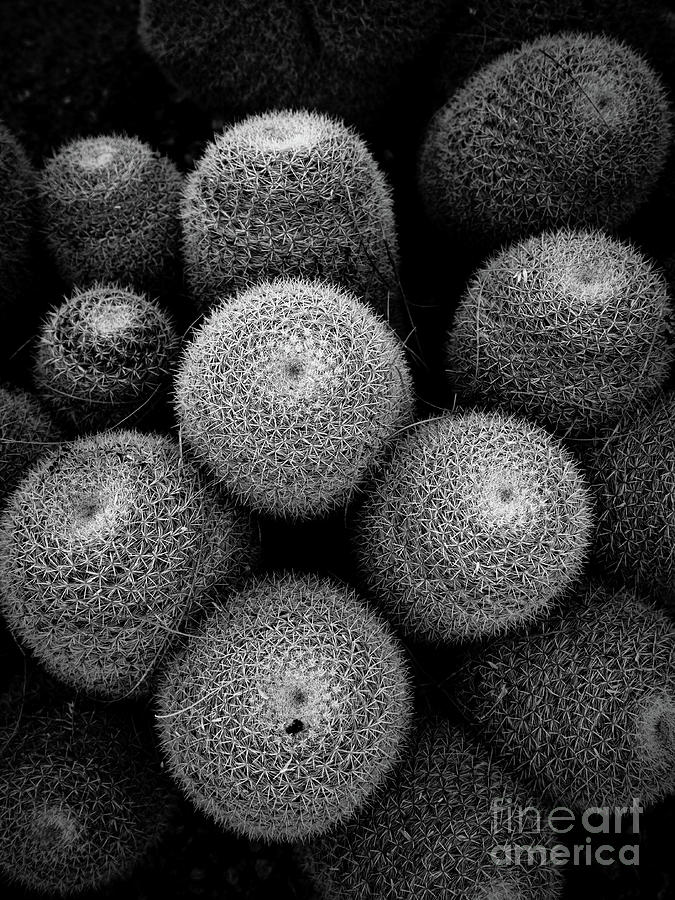 Cactus Photograph - Cactus Black And White 5 by Edward Fielding