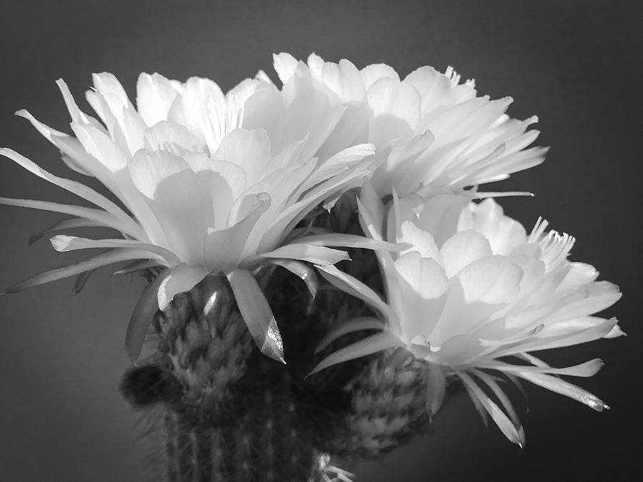 Cactus Blooms BnW I by Veronika Countryman