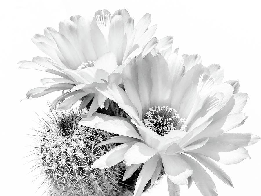 Cactus Blooms BnW II by Veronika Countryman