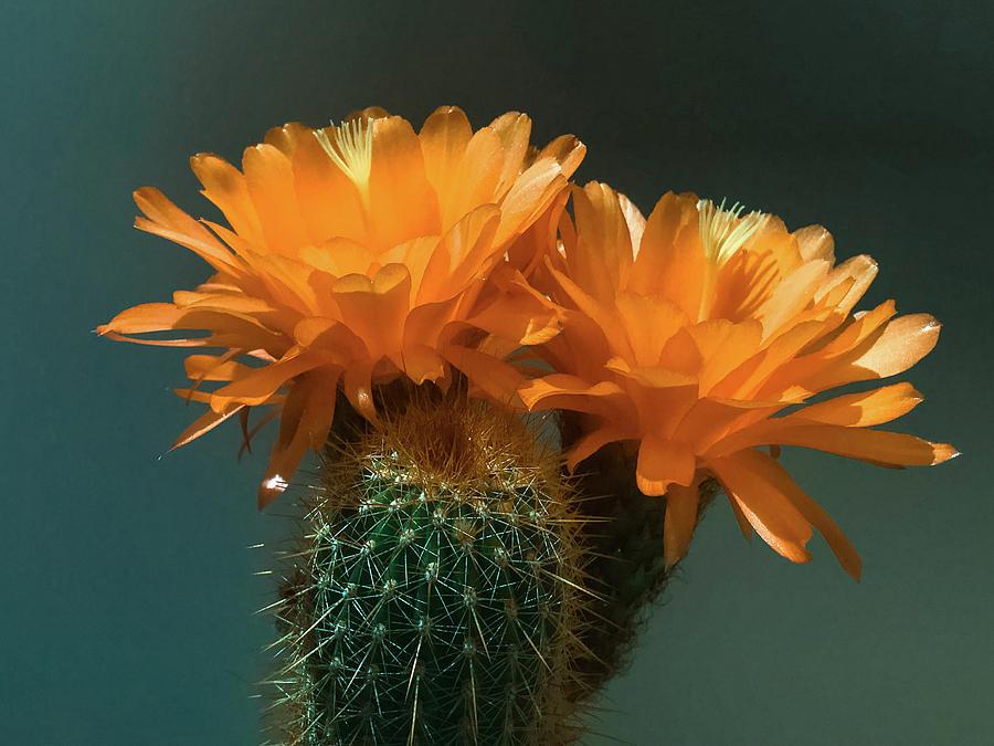 Cactus Blooms in Orange by Veronika Countryman