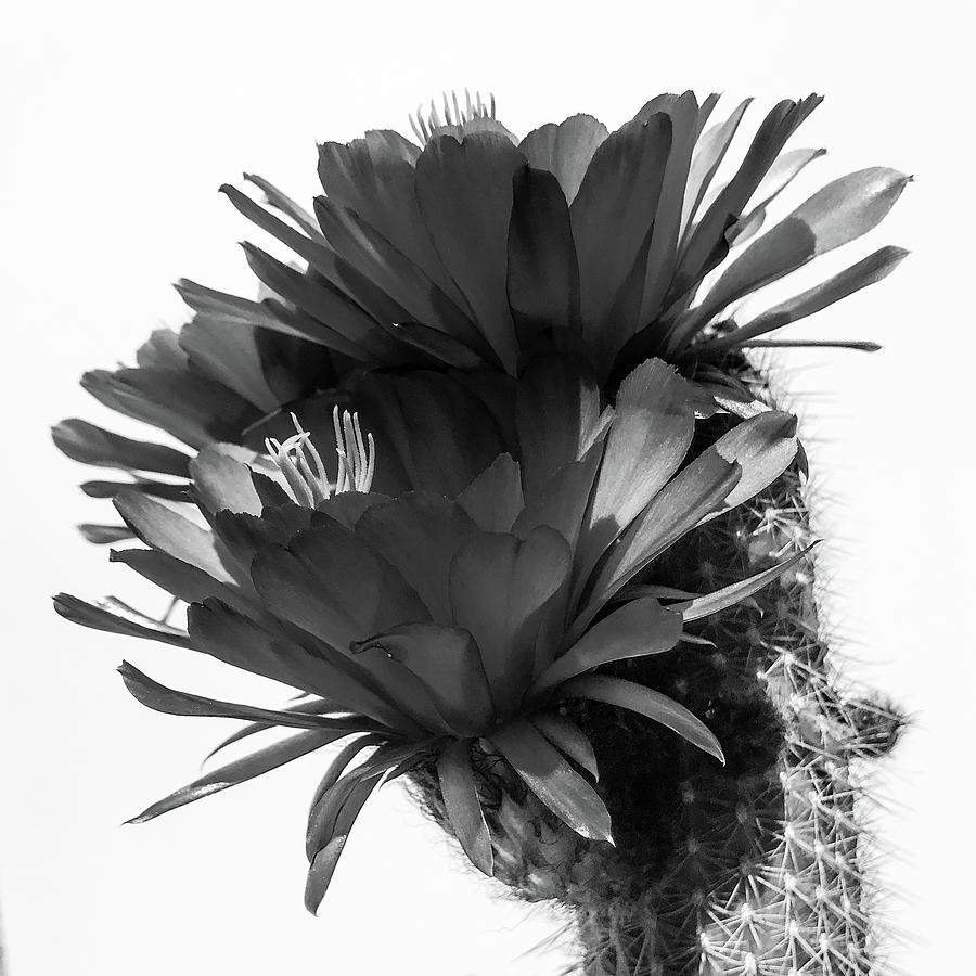 Cactus Blossom BnW 3 by Veronika Countryman