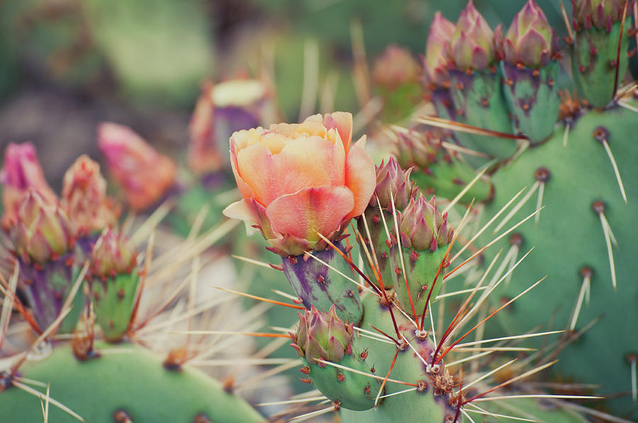 Cactus Blossom Photograph by Harpazo hope