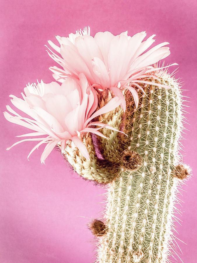 Cactus Blossom V by Veronika Countryman