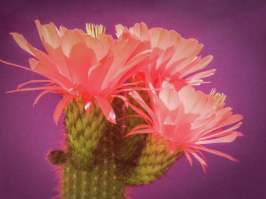 Cactus Blossoms II by Veronika Countryman