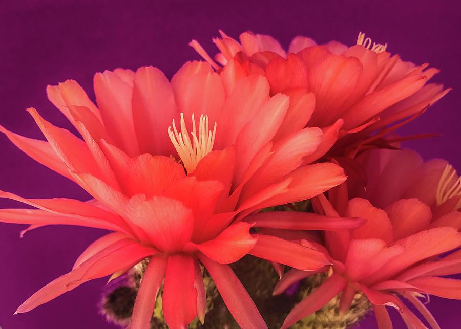 Cactus Blossoms IV by Veronika Countryman