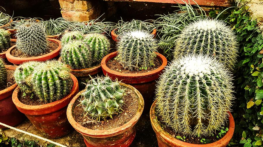Cactus Collection Photograph
