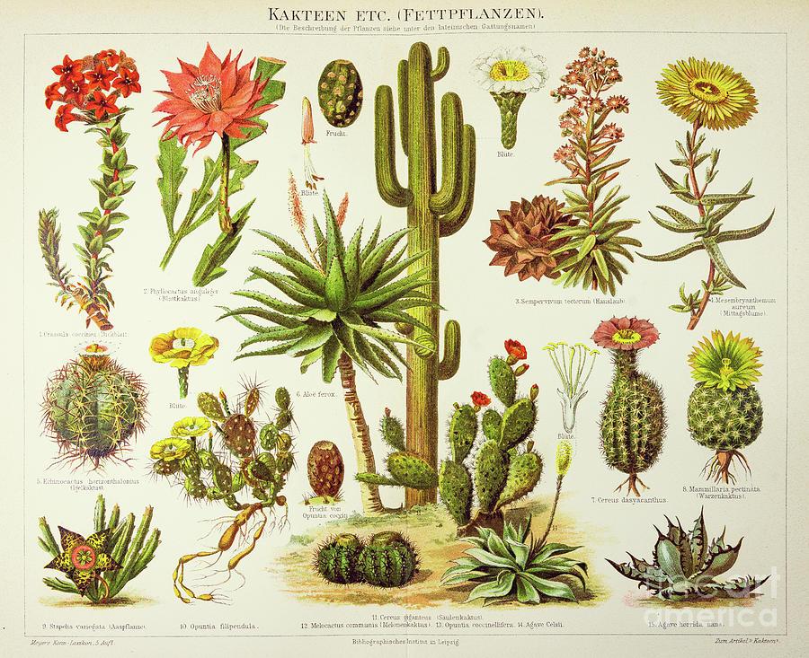 Cactus Engraving 1895 Digital Art by Thepalmer