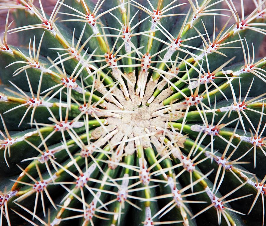 Cactus Ferocactus Histrix, Overhead View Photograph by Liz Whitaker