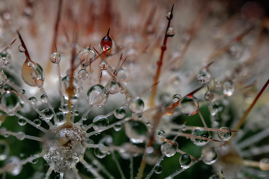 Needles Photograph - Cactus Flowers 19 by Gordon Semmens