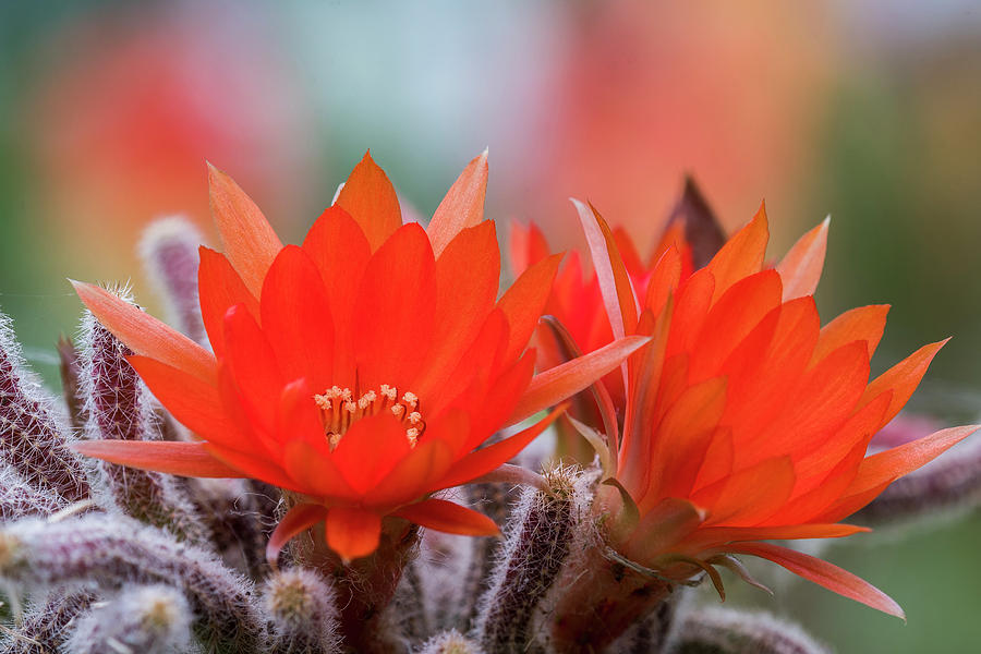 Cactus in Bloom by Robert Potts