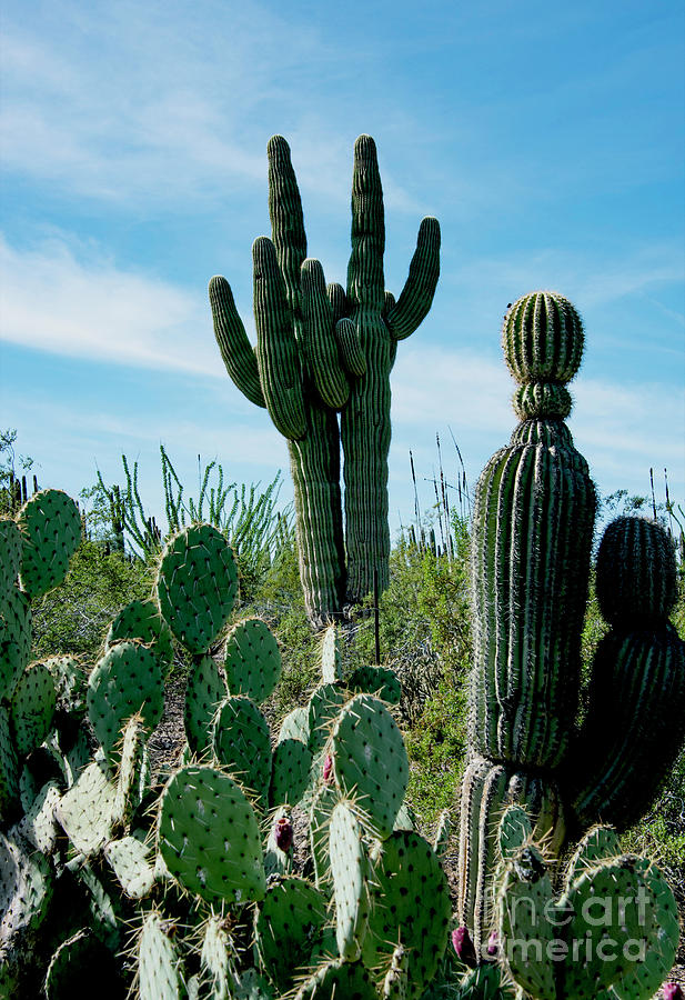 Cactus Twins Have Company Photograph by Mae Wertz