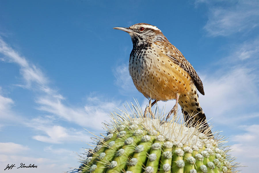 Cactus Wren on a Saguaro Cactus by Jeff Goulden