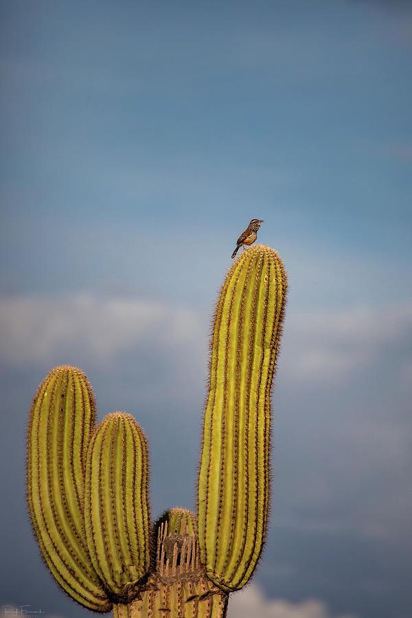 Cactus Wren by Rick Furmanek
