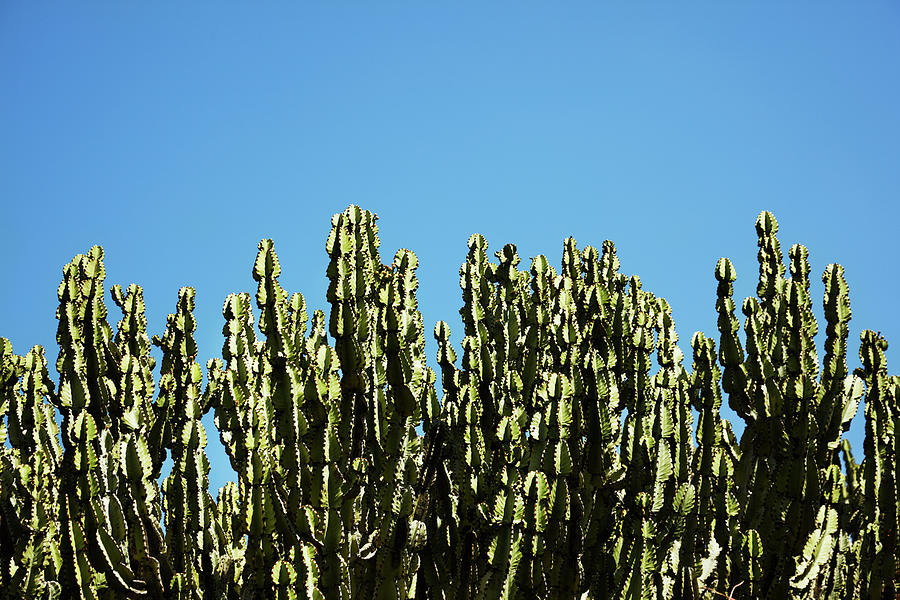 Cactuses Against Blue Sky Photograph by Johner Images