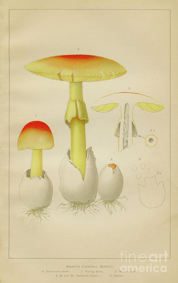 Caesar Mushroom Illustration 1892 Digital Art by Thepalmer