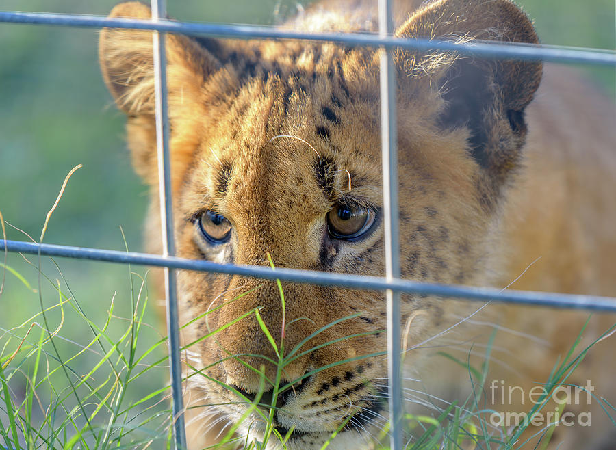 Wild Photograph - Caged by Dheeraj Mutha
