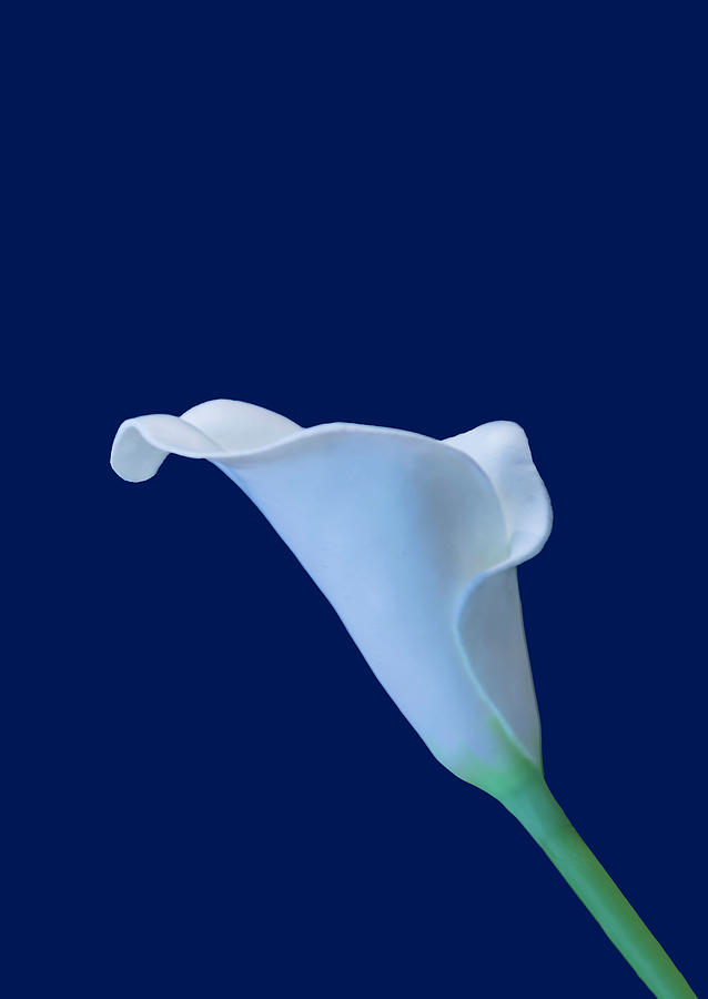 Cala Lily BA by Jim Dollar