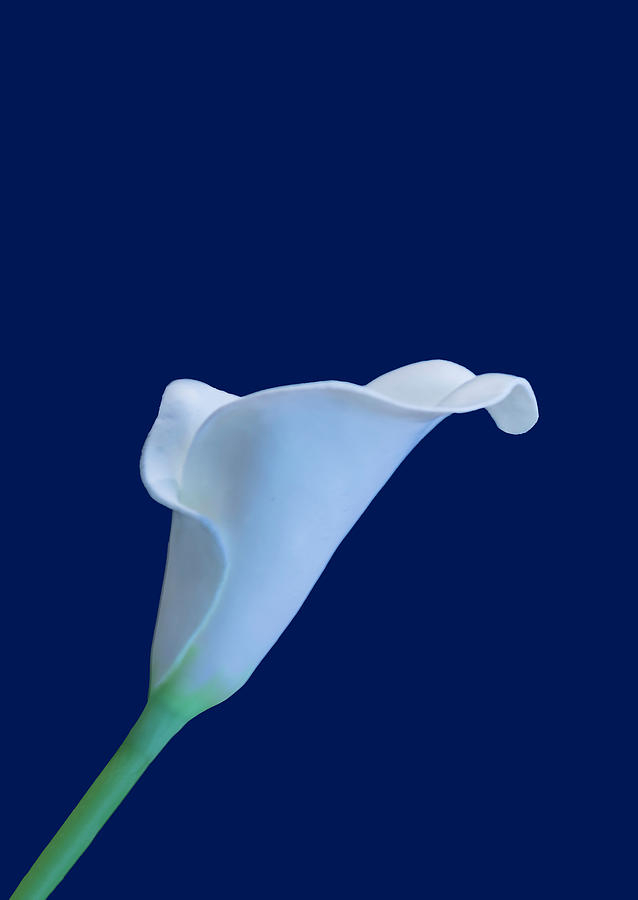 Cala Lily BB by Jim Dollar