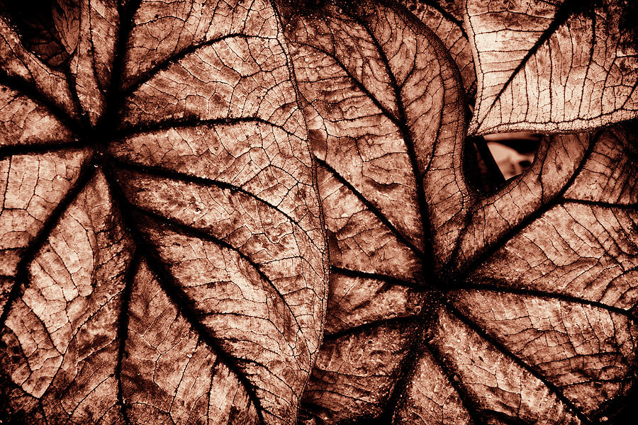 Caladium Leaves Curves and Lines by Paul W Faust - Impressions of Light