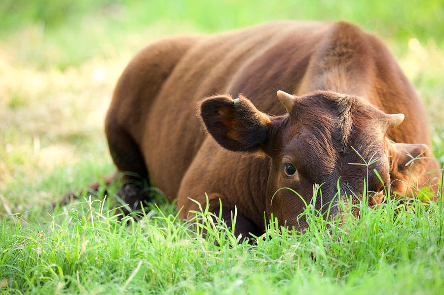 Calf at Rest by Rachel Morrison
